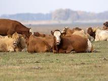 Kühe auf dem Weiden lassen, HortobÃ-¡ GY, Ungarn stockbilder
