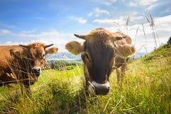 Kühe auf den Alpenfeldern Lizenzfreie Stockbilder
