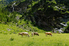Kühe auf den Alpenwiesen Lizenzfreie Stockfotografie