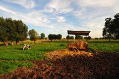 Kühe auf den Gebieten Stockfotos