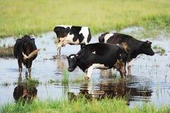 Kühe auf der überschwemmten Wiese Lizenzfreie Stockbilder