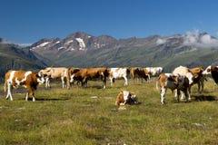 Kühe auf der alpinen Wiese lizenzfreie stockfotografie