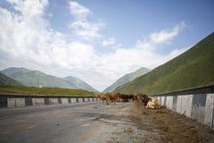 Kühe auf der Brücke in Georgia, auf der Straße, wohin Autos überschreiten, und einer schönen Ansicht der Berge stockbilder