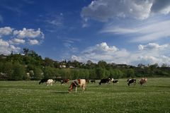 Kühe auf der Frühlingswiese Stockbilder