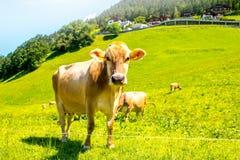 Kühe auf der grünen Wiese Lizenzfreies Stockfoto