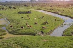 Kühe auf der grünen Wiese Stockfotos