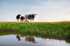 Kühe auf der Weide reflektiert im Fluss Stockfotos