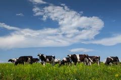 Kühe auf der Wiese Stockfotografie