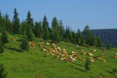 Kühe auf der Wiese Stockfoto