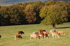 Kühe auf der Wiese Stockfotos