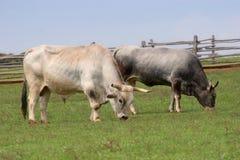 Kühe auf einem Bauernhof Stockfoto