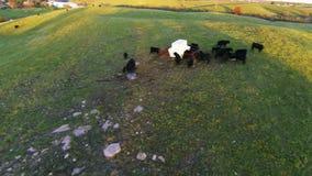 Kühe auf einem Bauernhof stock video
