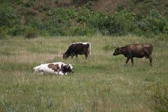 Kühe auf einem Feld Stockfotos