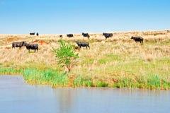 Kühe auf einem Gebiet Stockbilder