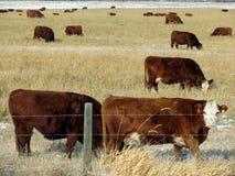 Kühe auf einem Gebiet Lizenzfreie Stockbilder