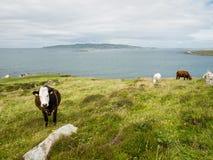 Kühe auf einem Gebiet auf der Küste von Maghery, Donegal Lizenzfreie Stockfotografie