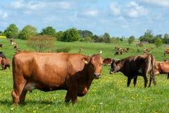 Kühe auf einem Gebiet mit Gras und Löwenzahn Lizenzfreie Stockfotos