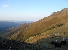 Kühe auf einem grünen Feld lizenzfreies stockbild
