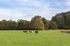 Kühe auf einem grünen Feld in der Schweiz Stockfoto