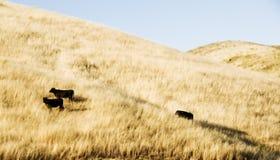 Kühe auf einem Hügel stockfotografie