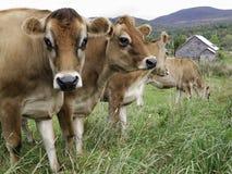 Kühe auf einem landwirtschaftlichen Gebiet Lizenzfreie Stockbilder