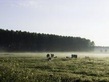 Kühe auf einem nebelhaften Morgen Lizenzfreie Stockfotografie
