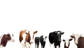 Kühe auf einem weißen Hintergrund lizenzfreie stockfotos