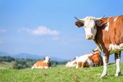 Kühe auf einer Gebirgsweide Stockbild