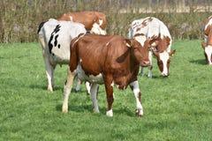 Kühe auf einer grünen Rasenfläche Lizenzfreie Stockfotografie