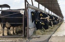 Kühe auf einer Molkerei Lizenzfreies Stockbild