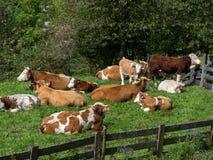 Kühe auf einer Sommerweide Lizenzfreies Stockfoto