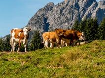 Kühe auf einer Sommerweide Stockfoto
