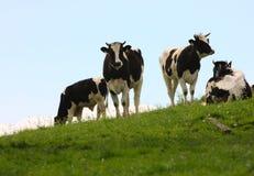 Kühe auf einer Weide Lizenzfreies Stockbild