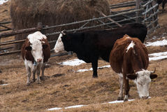 Kühe auf einer Weide in den Karpatenbergen Lizenzfreie Stockbilder