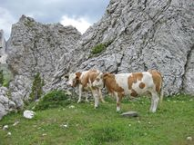 Kühe auf einer Wiese in den italienischen Dolomit in Süd-Tirol an einem Sommertag lizenzfreie stockfotografie