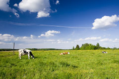 Kühe auf Feld Lizenzfreies Stockbild