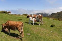 Kühe auf Gebirgswiese Stockbilder