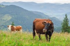 Kühe auf grünem Feld mit Bergen als Hintergrund Stockbild