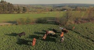 Kühe auf grüner Weide stock video