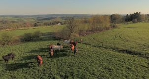 Kühe auf grüner Weide stock video footage