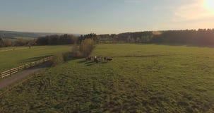 Kühe auf grüner Weide stock footage
