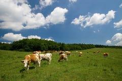 Kühe auf grüner Wiese Stockbild