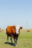 Kühe auf grüner Wiese Stockfoto