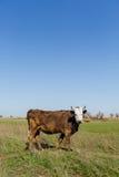 Kühe auf grüner Wiese Stockbilder