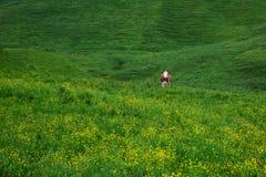 Kühe auf grüner Wiese Stockfotografie