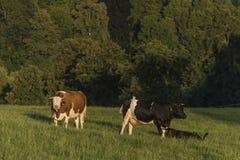 Kühe auf grüner Wiese in der Sonnenuntergangzeit Lizenzfreies Stockfoto