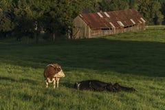 Kühe auf grüner Wiese in der Sonnenuntergangzeit Lizenzfreie Stockfotografie
