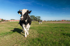 Kühe auf Gras lizenzfreie stockfotos