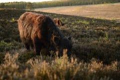 Kühe auf Hügel Lizenzfreies Stockfoto
