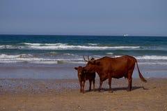 Kühe auf Seeküste lizenzfreies stockbild
